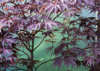 Acer palmatum 'Burgundy Lace' against blue perspex screen