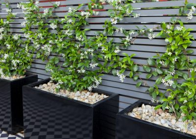 Trachelospermum jasminoides in tall black containers, pebble mulch, contemporary trellis